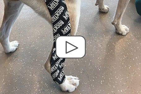 RockTape Canine Taping (ONLINE Module)