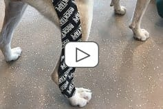 RockTape Canine Taping (ONLINE Module)
